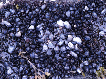 Can Mussels Monitor Pollution?