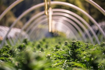 Gas Sensing for Optimal Marijuana Crop Growth for Medical Use